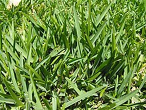 Carpet Fungus Types by St Augustine Grass Wikipedia