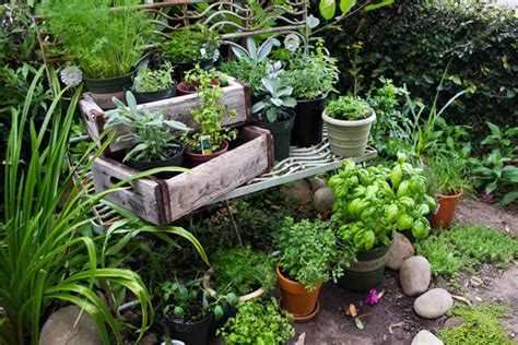 growing herbs in the garden valley news squaw valley herb gardens