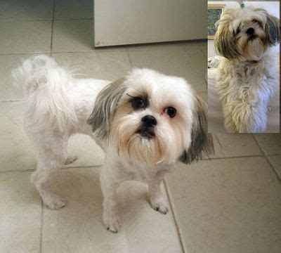 29 best shih haircuts images on pinterest bath cute 17 best images about shih tzu haircuts on pinterest