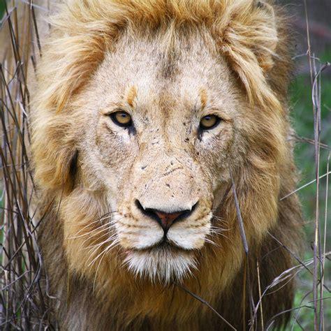 lion kruger park south africa  lion panthera leo