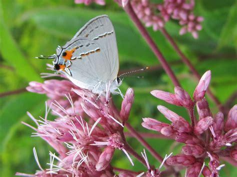 butterfly desktop wallpapers allfreshwallpaper butterfly desktop background wallpapersafari
