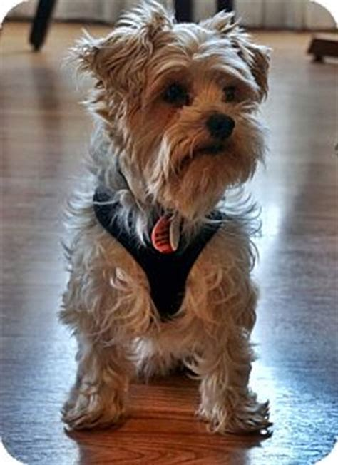 yorkie rescue toronto bentley adopted toronto on yorkie terrier mix