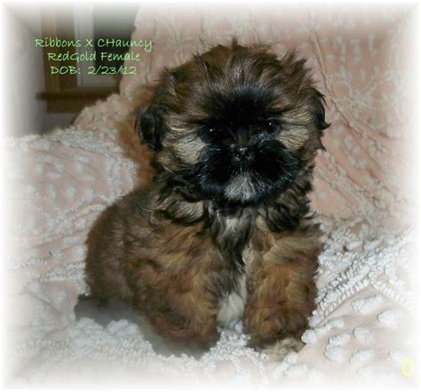 shih tzu puppies black and brown brown and black shih tzu dogs www pixshark images galleries with a bite