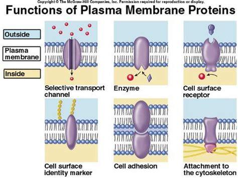 6 protein functions biology biol 1113 gt baliraine gt flashcards gt 7 membrane