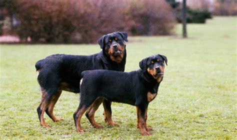rottweiler breed traits rottweiler characteristics and behavior 3 cool wallpaper dogbreedswallpapers