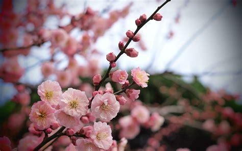 Kirschblüten Blüten rosa Hintergrund unscharf wallpaper