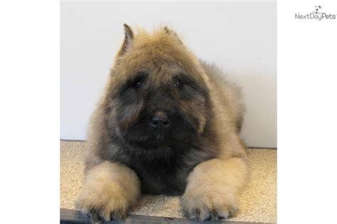 bouvier des flandres puppies for sale bouvier des flandres puppy for sale near southeast missouri missouri d5bf19f5 6b61