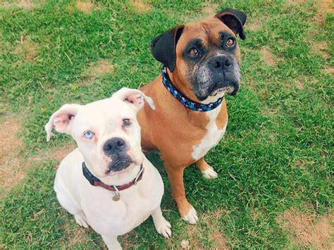 deaf dogs rock deaf dogs rock sponsors bonded pair into rescue deaf dogs rock