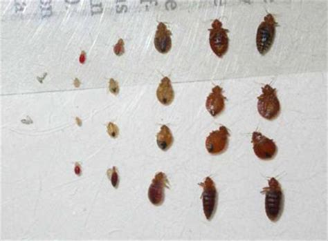What A Bed Bug Looks Like by What Do Bed Bugs Look Like Basic Information About Bedbugs