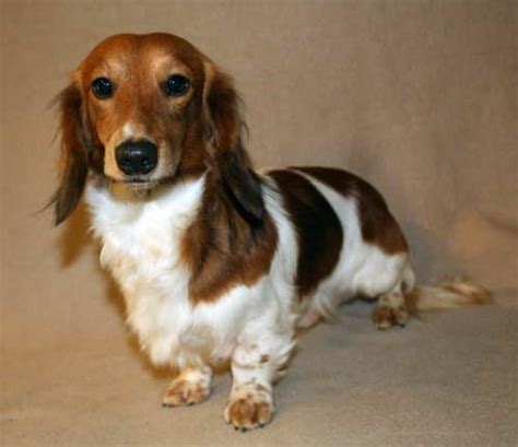 piebald dachshund puppies for sale image gallery piebald dachshunds