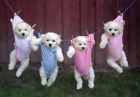 puppies in clothes puppies hanging in baby clothes teh