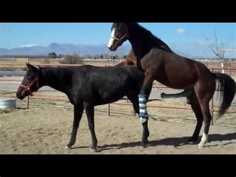 horse breeding videos stallions horses mating with human woman just b cause
