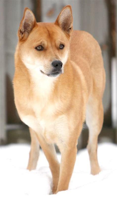 carolina dogs carolina dogs