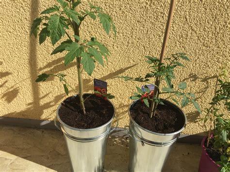 wann garten bepflanzen tomaten auf dem balkon pflanzen aus 228 en und tipps