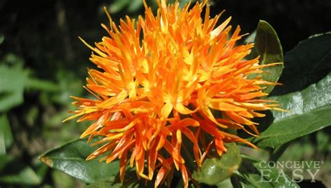 can safflower oil help ovulation conceiveeasy