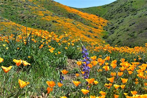 california desert flowers california 2017 desert super bloom unlike anything seen in