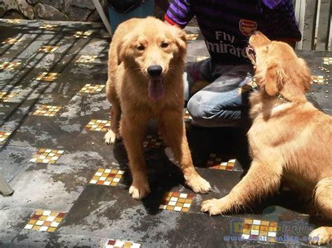 Boneka Anjing Golden Quality dunia anjing jual anjing golden retriever jual golden retriever show quality