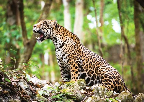 ver imagenes jaguar animal natgeo jaguar argentina travel blog