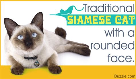The Felines from Thailand: Siamese Cat Types and Related Facts
