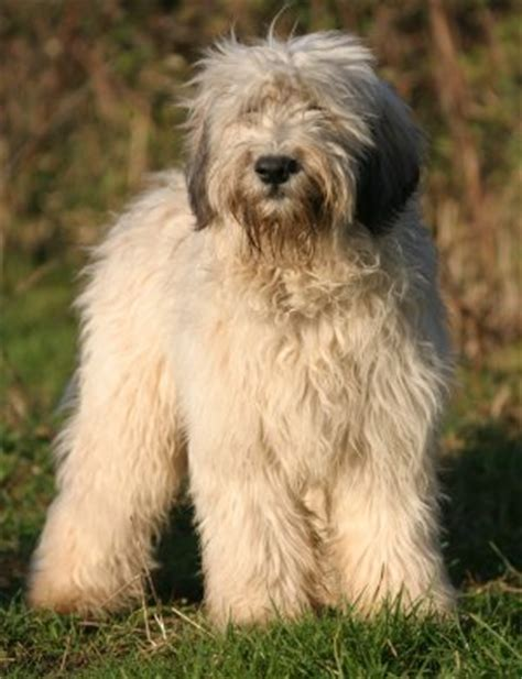 types of sheep dogs lowland sheepdog history personality appearance health and pictures