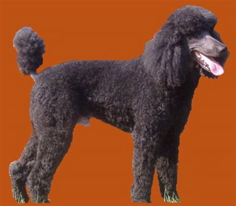 indiana poodle rescue standard poodle indiana dogs our friends photo