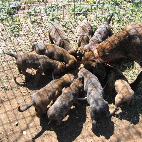 speeddogs hounds and puppies plott hound white deer joe plott x breeds picture