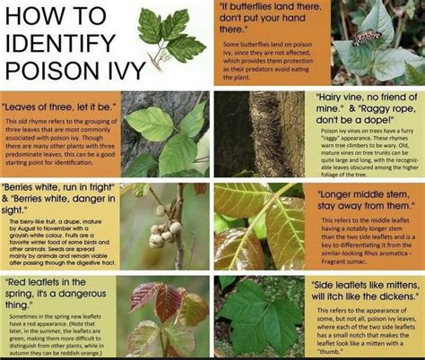 poison ivy what is it good for friends of busse woods medical tips and ideas pinterest