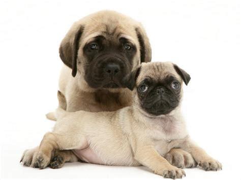 mastiff pug fawn pug puppy with fawn mastiff puppy photographic print by burton at