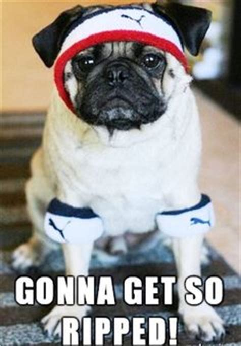pug exercise 1000 images about memes on memes fitness memes and humor
