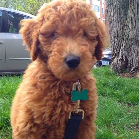 goldendoodle central best 25 miniature golden doodles ideas on