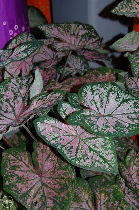 caladium fancy leaf elise ships  spring caladium