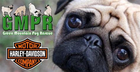 green mountain pug rescue green mountain pug rescue
