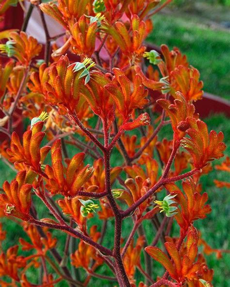 anigozanthos kangaroo paws come in yellow and varieties come in pink see other