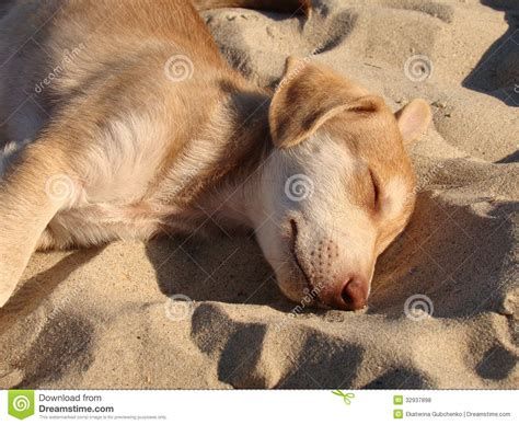 sand puppy a puppy sleeping on the sand royalty free stock photos image 32937898