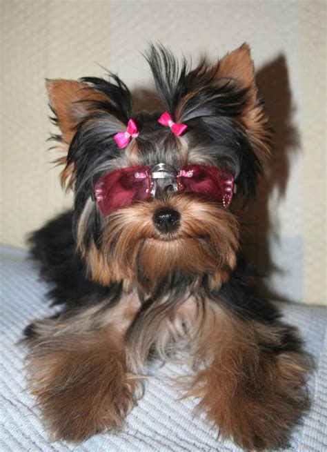 the yorkies terrier yorkie pup breeds picture