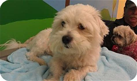 shih tzu west highland terrier mix new ny westie west highland white terrier shih tzu mix meet skippy a