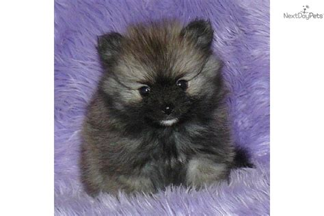 pomeranians for sale in pennsylvania teacup pomeranian puppies for sale in pa breeds picture