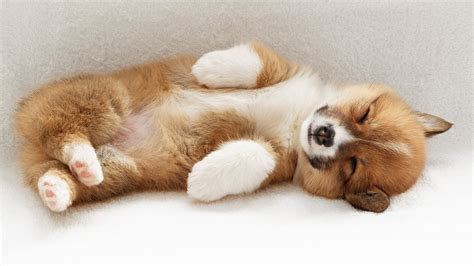 animals corgi puppies wallpapers hd desktop  mobile