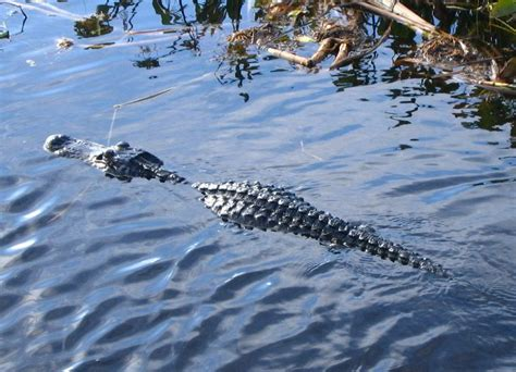 everglades boat tours near boca raton florida air boat ride recommendations bootsnall s travel