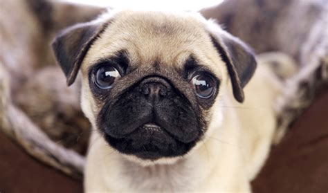 pug information and care pug breed information