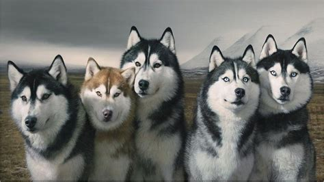 how to a siberian husky puppy siberian husky temperament pictures and inspirationseek