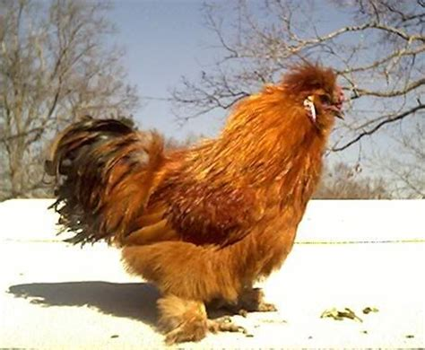 Kaos New Year 07 Ayam Rooster 654 best images about chickens for on