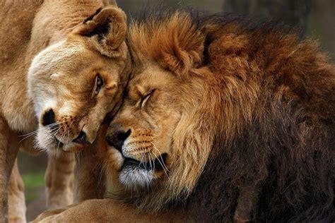 imagenes manada leones leones donde y cu 193 nto viven los leones y cu 225 nto pesan