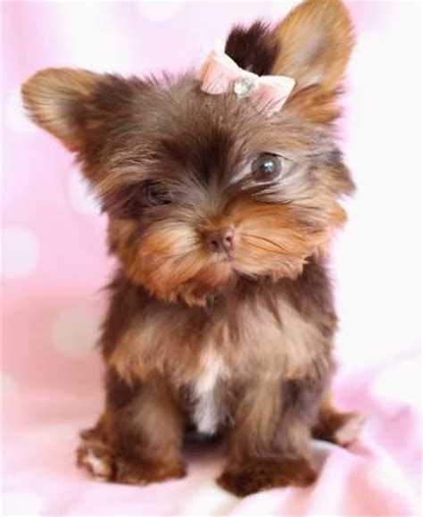 teacup yorkie pup 17 best ideas about teacup yorkie on mini yorkie yorkie teacup puppies