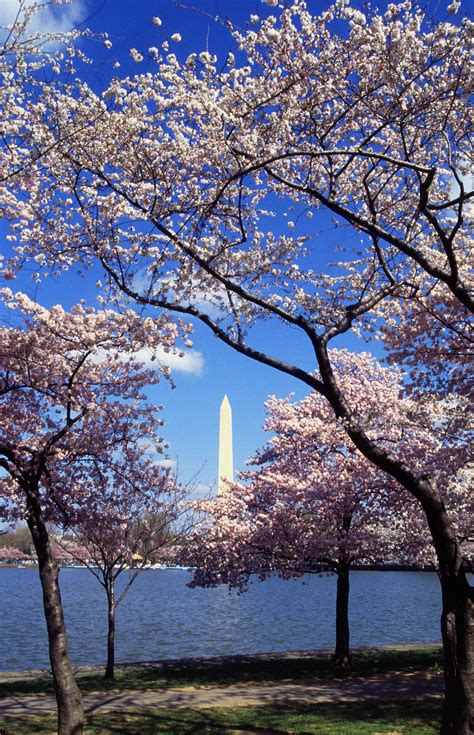 national cherry blossom festival 8 facts about washington dc s cherry blossom festival