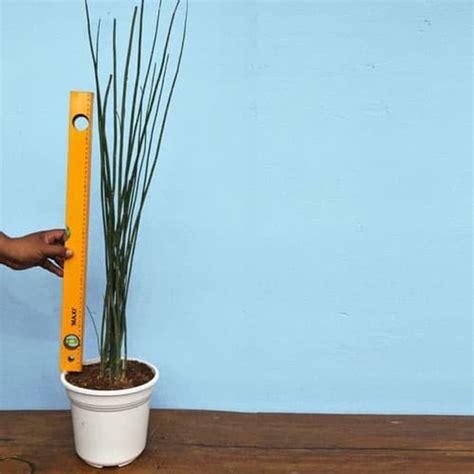 beli disini tanaman hias bambu air   meter ibad garden