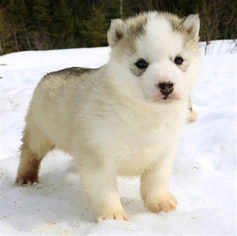 snow husky puppy husky sled puppies play in snow