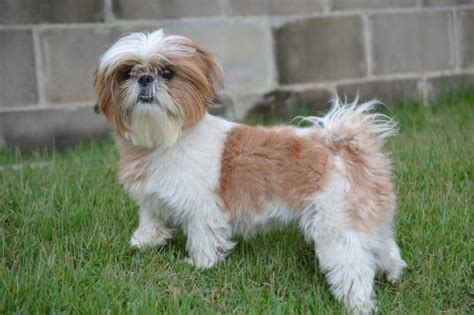 characteristics of shih tzu shih tzu temperament and personality canna pet 174