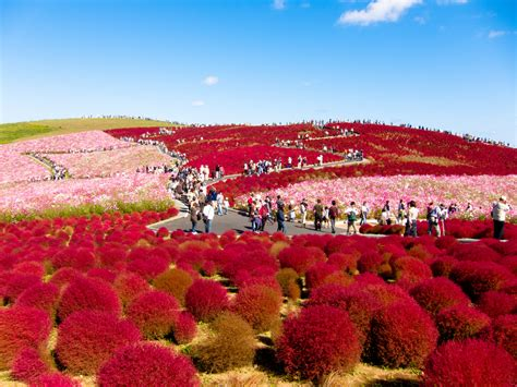 behold the bright red beauty of kochia hill japan lazer