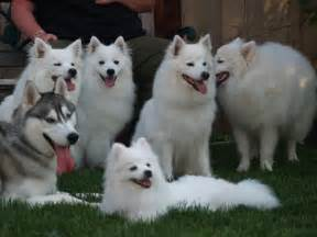 Cute Puppies and Dogs Pictures: American Eskimo Dog ...
